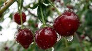 «Сад-Гигант Ингушетия»: первый урожай черешни